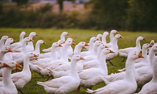 Free Range Goose